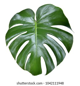 monstera leave texture tropical isolated on a white background. This has clipping path.