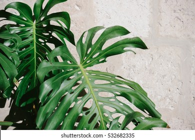Monstera leaves against a white stone wall