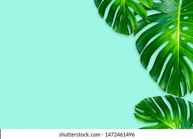 monstera leaves isolated on blue background.Concept for nature plant decorate frame and copy space for your text.Swiss cheese plant