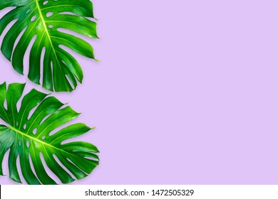 monstera leaves isolated on purple color background