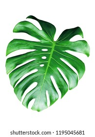 monstera leaves isolated on white background.