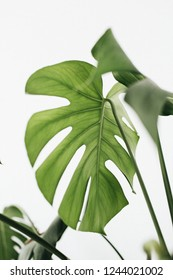 Monstera leaves on white background. Tropical exotic palm concept.