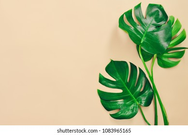 Monstera leaves summer minimal background with a space for a text, flat lay, view from above