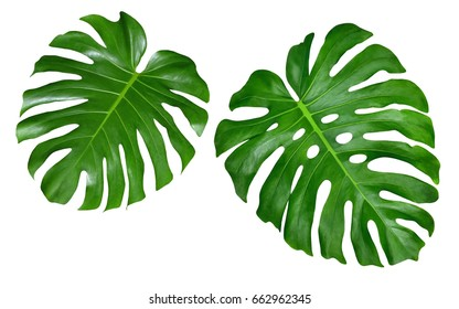 Monstera leaves, tropical jungle design pattern, Swiss Cheese Plant, isolated on white background