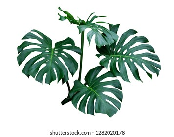 Monstera leaves, the tropical plant evergreen vine isolated on white background, clipping path included