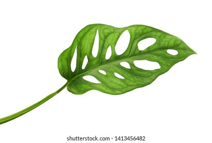 Monstera obliqua leaves, Tropical foliage  isolated on white background, with clipping path