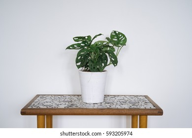 Monstera Obliqua  on a wooden antique table
