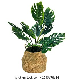Monstera obliqua in a wicker beige pot on an isolated background