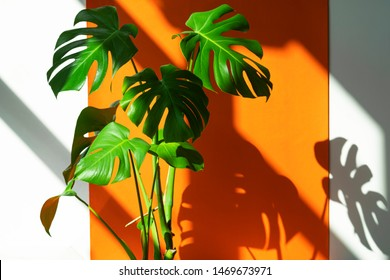 Monstera on a white and orange background. Monstera in a modern interior. Interior Design. Flowers in the interior. Minimalism concept