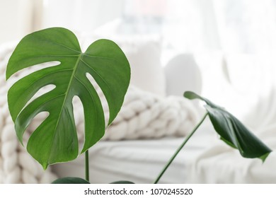Monstera palm leaves on white merino wool blanket background, scandinavian hygge style