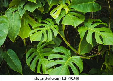 Monstera Philodendron leaves - tropical forest plant -