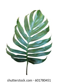 Monstera, philodendron tropical leaf isolated on white background, clipping path included.