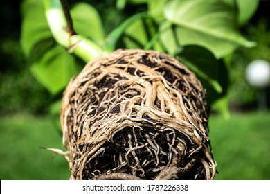 Monstera plant with expansive root system.