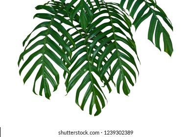 monstera plant leaf jungle branches hanging isolated on white background, Clipping path.