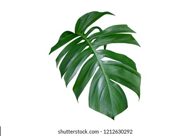 Monstera plant leaf, the tropical evergreen vine isolated on white background