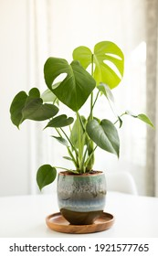 Monstera plant potted in a brilliant and pretty pot over a white table.