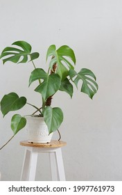 monstera plants in pots for home decoration - on white background