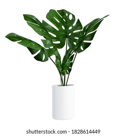 Monstera in a pot isolated on white background, Close up of tropical leaves or houseplant that grow indoor for decorative purpose. - Shutterstock ID 1828614449