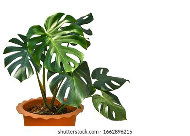 Monstera in a pot on white background - isolated
