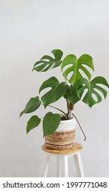 Monstera in rattan pot on white background
