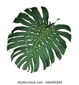 Monstera tropical leaf isolated on white background, clipping path included.