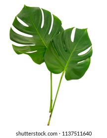 monstera two green tropical leaves isolated on white background