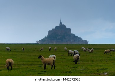 Mont Saint Michel in Normandie northern of France with livestock of sheeps.