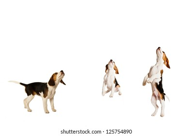 montage of beagle puppy dogs