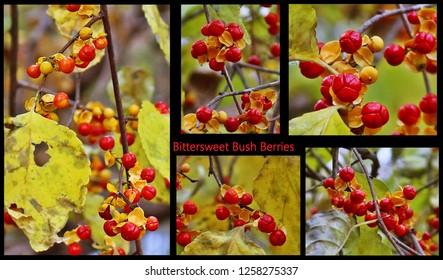 Montage closeup of bittersweet bush berries