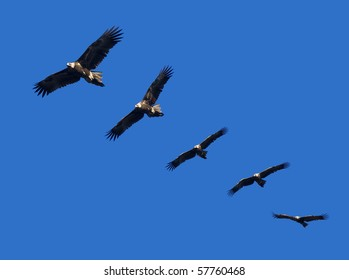 Montage of wedge-tailed eagles in full flight on blue sky with copy space