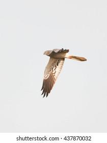 Montagu's Harrier male flying