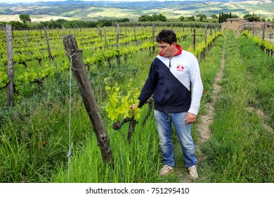 MONTALCINO, ITALY-MAY 9: Unidentified man stands in his vineyard on May 9, 2017 near Montalcino, Val d'Orcia, Tuscany, Italy. The town is famous for its Brunello di Montalcino wine.