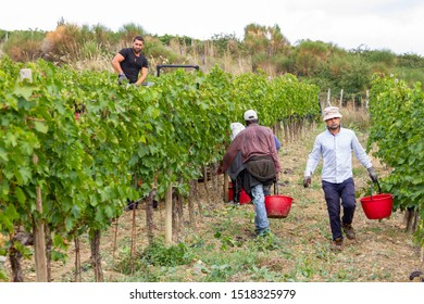 Montalcino, Italy/Tuscany - sept 25 2019: the grape harvest in Montalcino, territory of the famous Brunello wine, in the heart of Tuscany