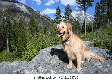 Montana Annie Oakley a Golden Retriever posing on a granite rock in the Pine Creek drainage in the Absaroka Mountain Range of Park County Montana
