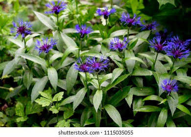 Montana Cornflower. Beautiful background with cornflowers. Blue beautiful flowers.