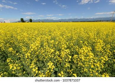 Montana field of canola flowers