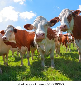 Montbeliarde cattle in the meadow