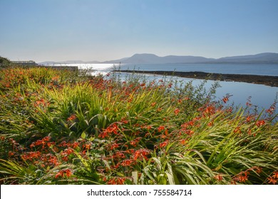 Montbretia plant on Bantry Bay, Wild Atlantic Way, Ireland