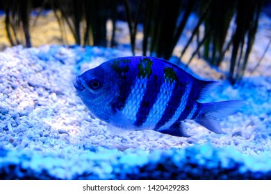 Monte Carlo, Monaco - August 01, 2017: Indo-Pacific sergeant (Abudefduf vaigiensis) in the Oceanographic Museum of Monaco
