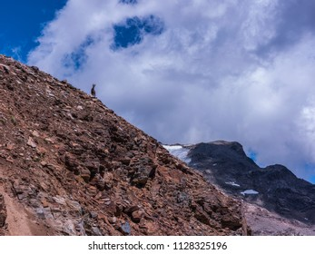 Monte Rosa Massif, Aosta Valley, Italy. Climbing to Stolemberg (3,202 m), scree slope with female Alpine Ibex.