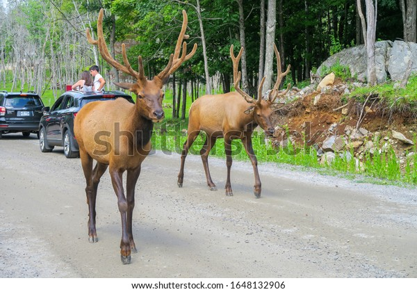 Montebello, Canada - August 2019: Beautiful wapitis walking on the road among cars