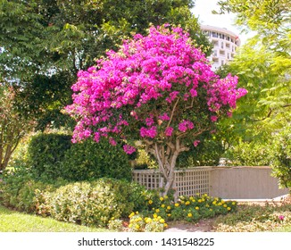 Monte-Carlo, Monaco – August 3, 2013: blooming bougainvillea in the park near the opera house and casino