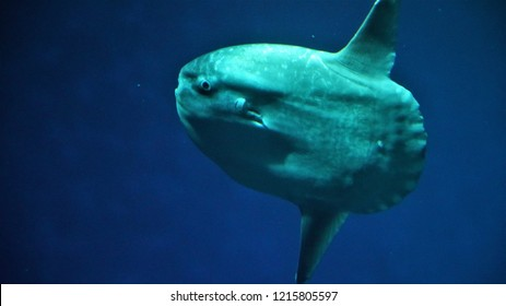 "MONTEREY BAY, CA (USA) - OCTOBER 21, 2018. A rare opportunity to see an Ocean Sunfish (Mola Mola) up close, inside the famous ""Open Sea Exhibit"" at Monterey Bay Aquarium in Northern California."
