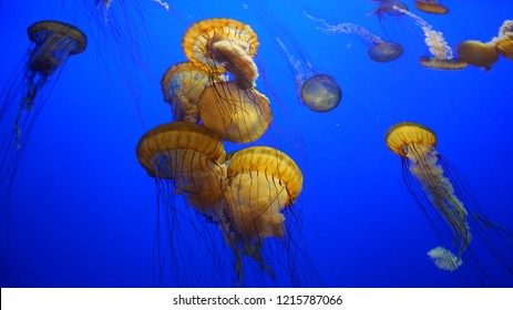 Imágenes, fotos de stock y vectores sobre California Jellyfish