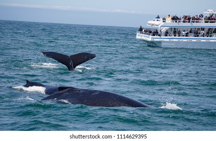 MONTEREY, CALIFORNIA - JUNE 9, 2018: Tourists on a whale watching boat get to see three humpback whales swimming.