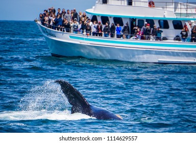 MONTEREY, CALIFORNIA - JUNE 9, 2018: Tourists on a whale watching boat watch a baby humpback flicking its tail.