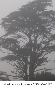 Monterey cypress (Cupressus macrocarpa) in the fog. Valverde. El Hierro. Canary Islands. Spain.