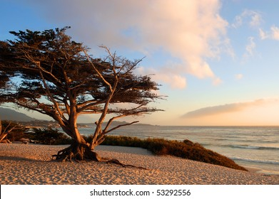 Monterey Cypress (Cupressus macrocarpa) on a beach in early evening light; Carmel-by-the-Sea, California