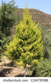 """Monterey Cypress"" tree (or Lemon Cypress, Goldcrest Wilma) in Crete Island, Greece. Its Latin name is Cupressus Macrocarpa (or Hesperocyparis Macrocarpa), native to California, USA."