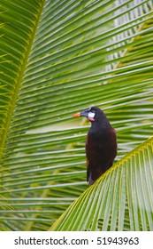 Montezuma Oropendola in a Palm Tree